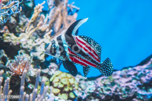 Fish have the same pattern and color as the american flag.