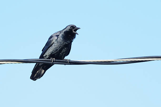 Fish Crow (Corvus ossifragus) on a wire calling