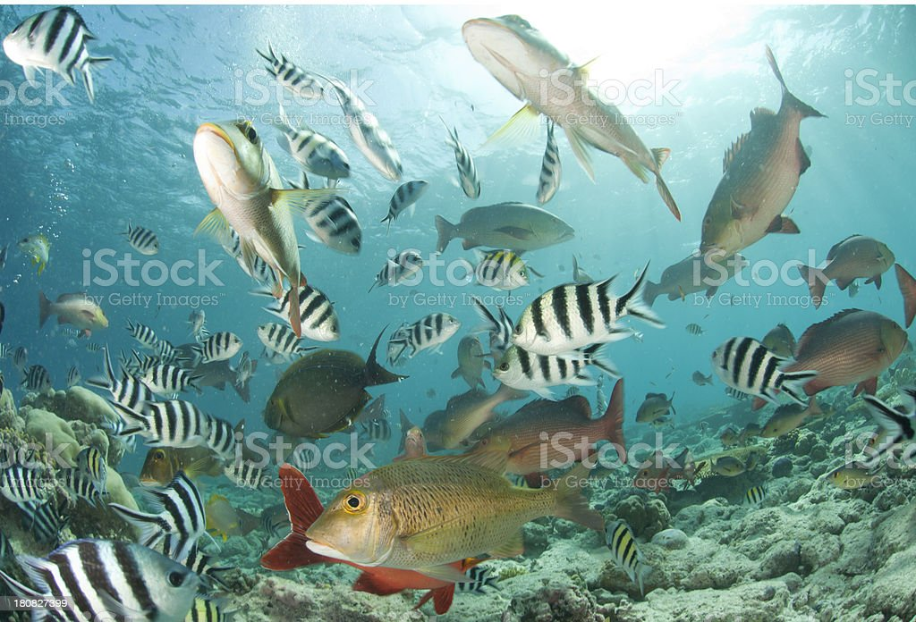 fish diversity many different species of fish swarm over a coral reef in the Seychelles Abundance Stock Photo