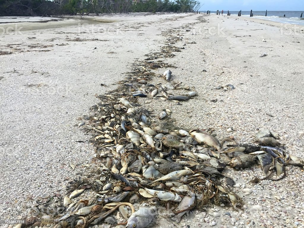 Fish dying and washing up on the West Coast of Florida, USA. stock photo