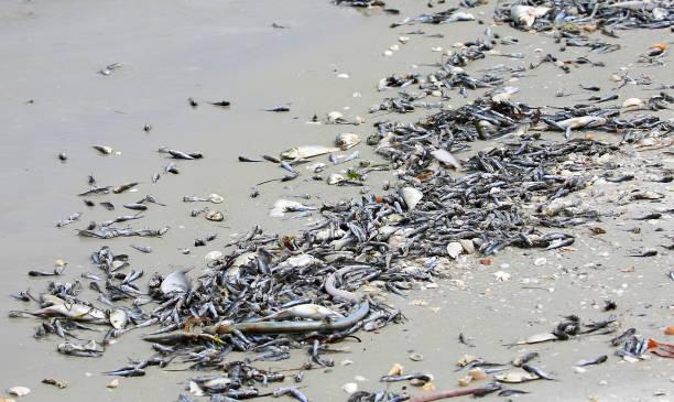 fische sterben und abwaschen an der westküste von florida, usa. - die toteninsel stock-fotos und bilder