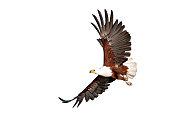 fish eagle beautifully flying on isolated white backgroundю Kenya