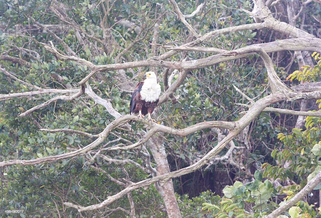 Fish Eagle in iSimangaliso Wetland Park, South Africa royalty-free stock photo