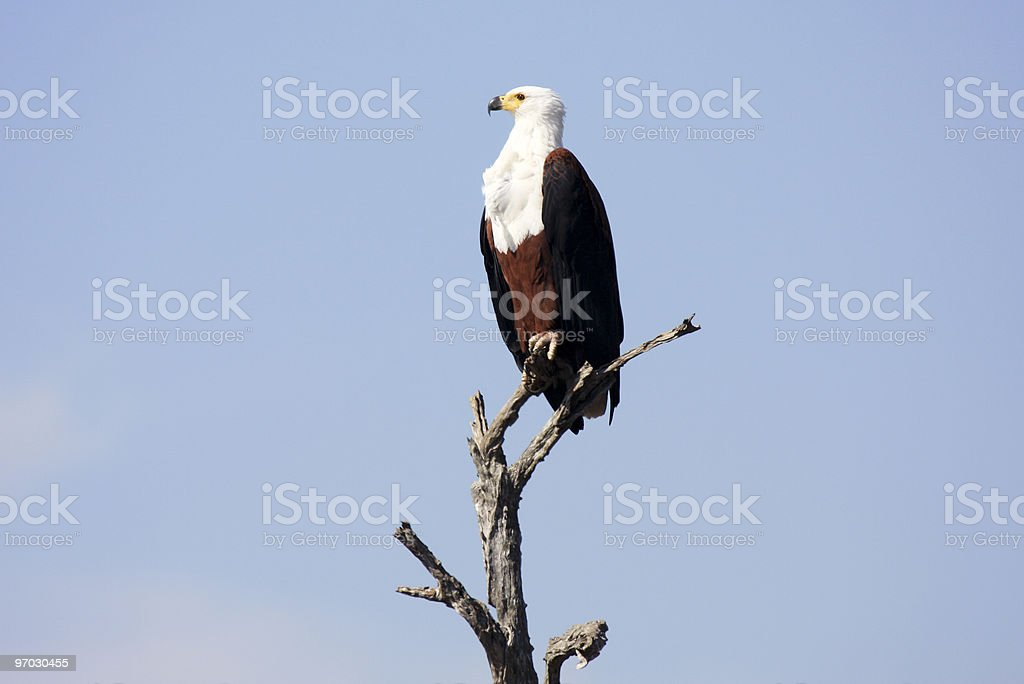 Fish Eagle in Kruger Park, South Africa royalty-free stock photo