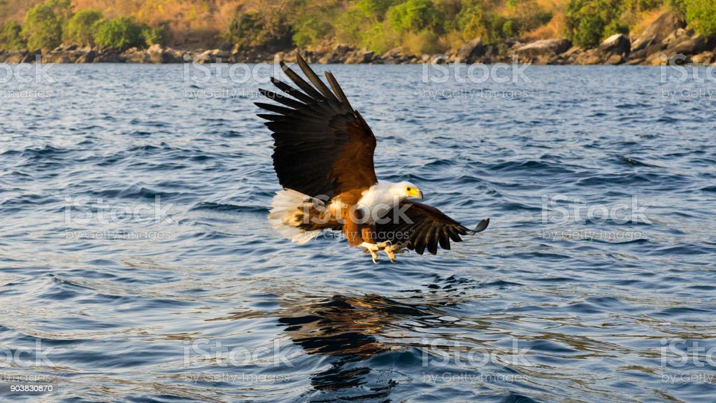 Fish eagle on Lake Malawi. stock photo