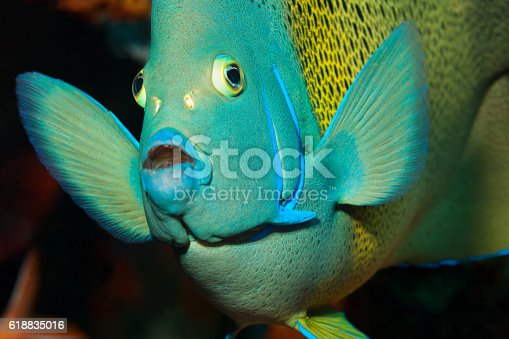 Portrait of a Semicircle angelfish Pomacanthus semicirculatus at an outer reef at 15m depth