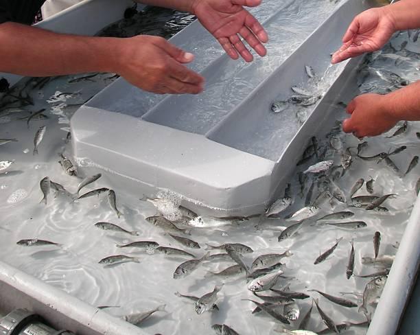 Criadero de pescado procesamiento - foto de stock