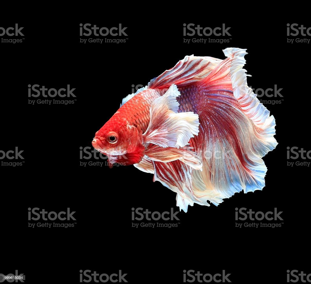 Fish Fighting Beautiful Fish Colorful Fish Fighting Siam On A Black ...