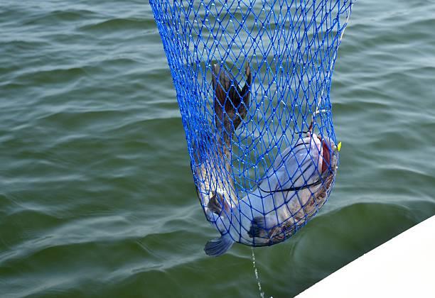 fisch für catfish - wilde hilde stock-fotos und bilder