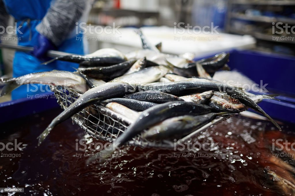 Fresh sardines being taken out of water for processing and further...