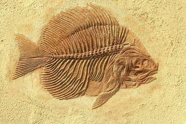 fish fossil - fossil stock photos and pictures