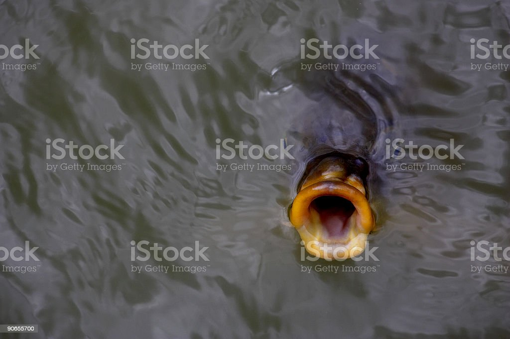 Fish gulping for food stock photo