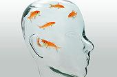 Five goldfish swim inside a glass head.