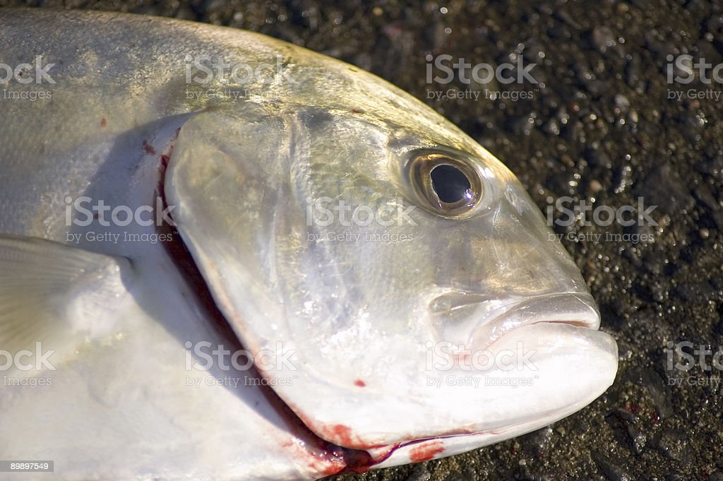 Fish Head royalty-free stock photo