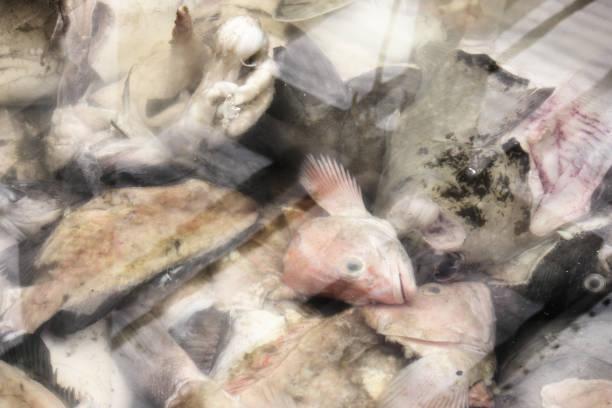 fish heads gills fins blood viscera - crappie angeln stock-fotos und bilder