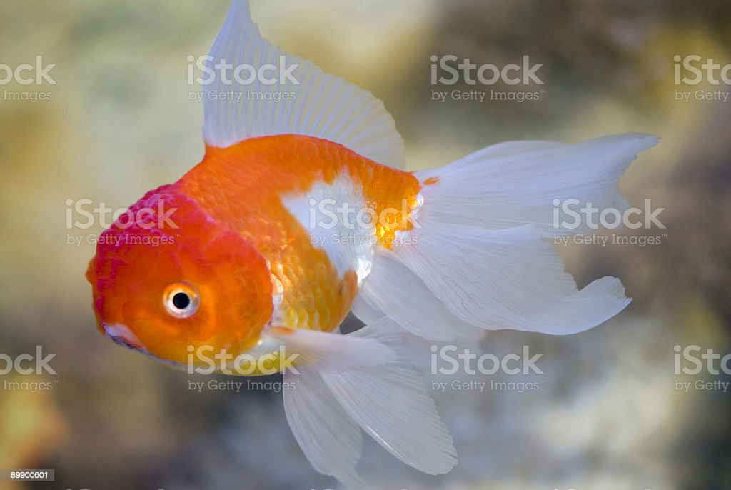 Fish in a fresh-water aquarium royalty-free stock photo