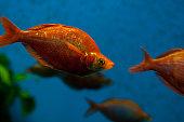 Fish in a large aquarium. Red iris or Aterina red (Glossolepis incisus)