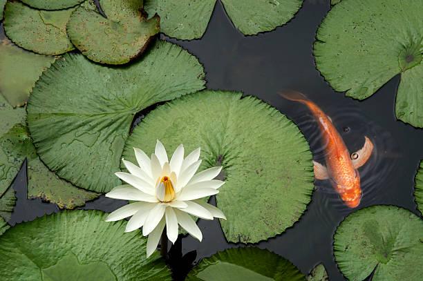 рыба в lotus пруд - пруд стоковые фото и изображения