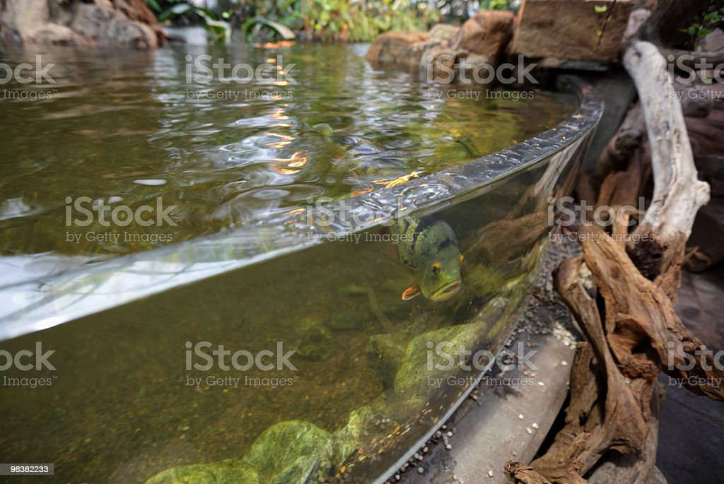 Fish in a tank royalty-free stock photo