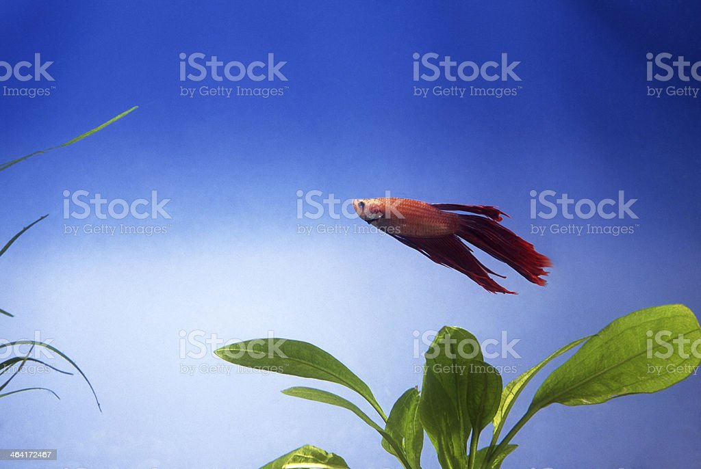 Fish in aquarium royalty-free stock photo