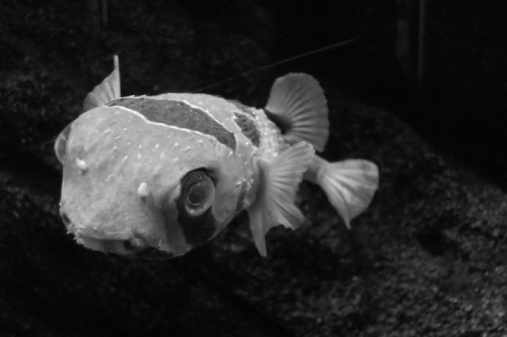 Fish in B&W