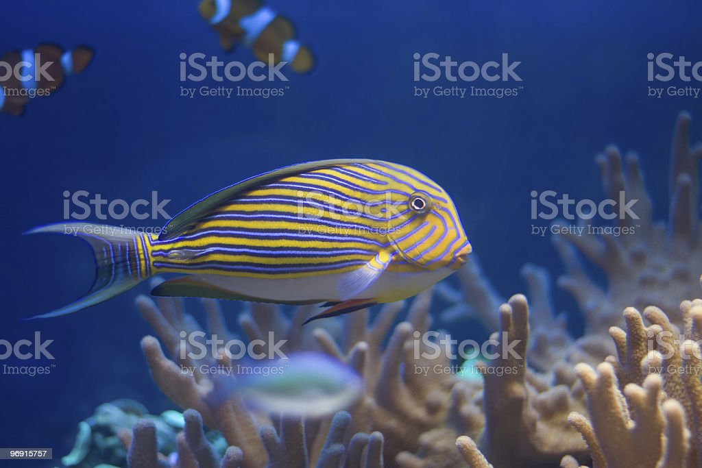 Fish in corals royalty-free stock photo