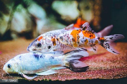 Fish in home aquarium