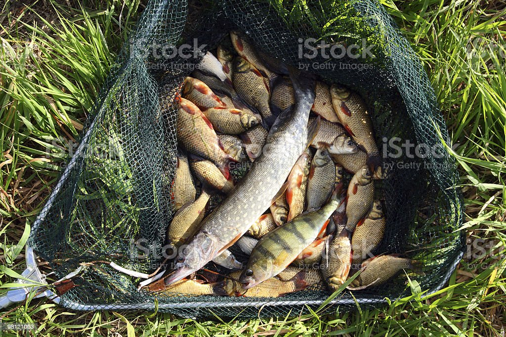 fish in landing-net on grass royalty-free stock photo