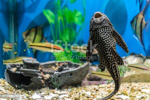 istock Fish in the aquarium 857686040