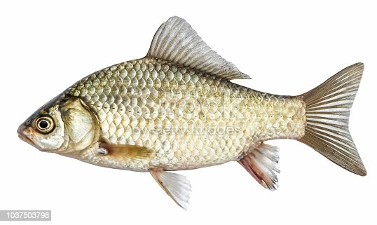 Fish, isolated with scales, river crucian carp
