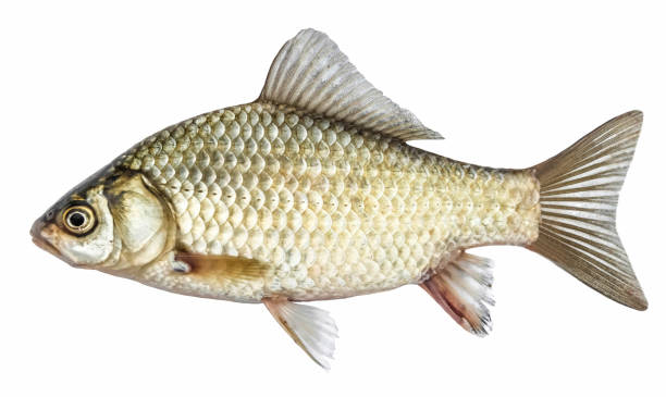 Fish, isolated with scales, river crucian carp stock photo