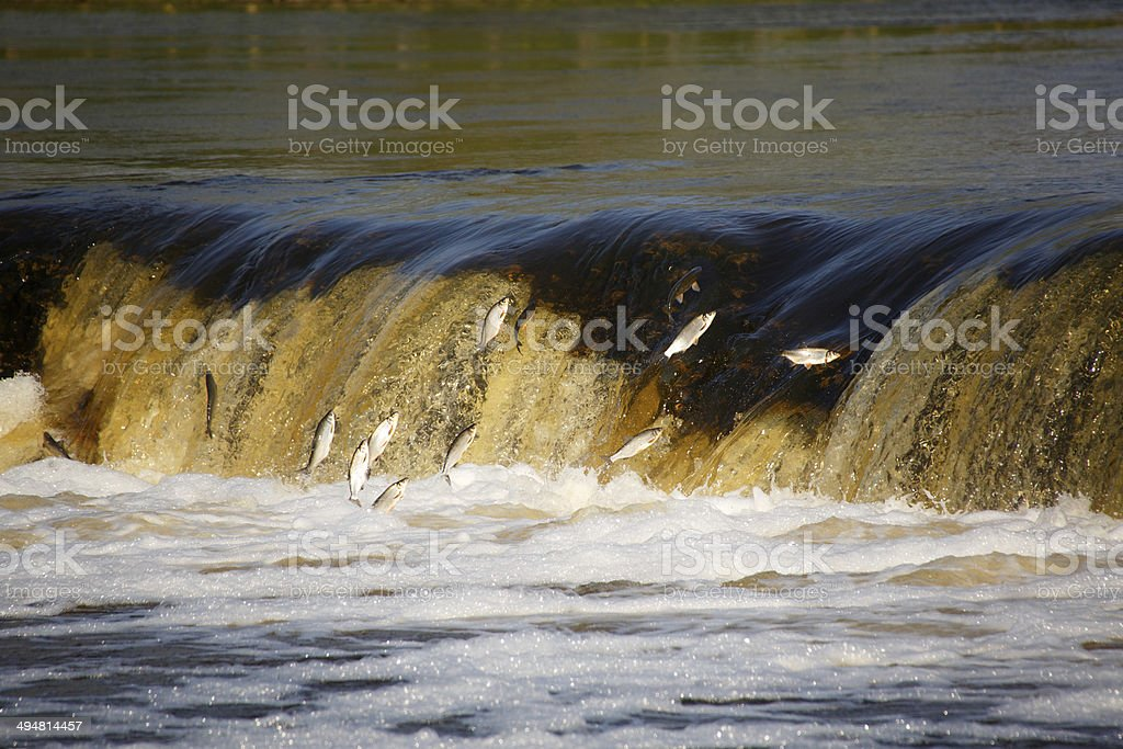Fish jumping in waterfall stock photo