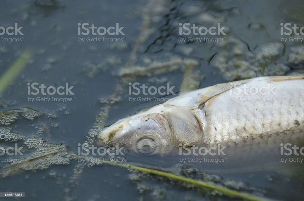 Fish killed by pollution stock photo