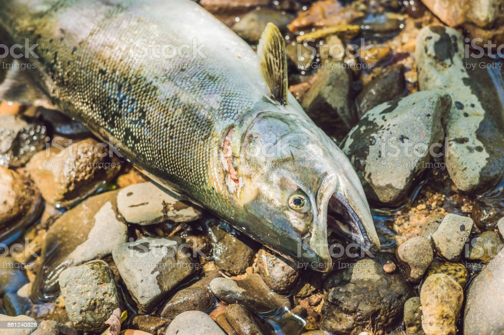 Fish killed with a gun. Fishermen poachers concept stock photo