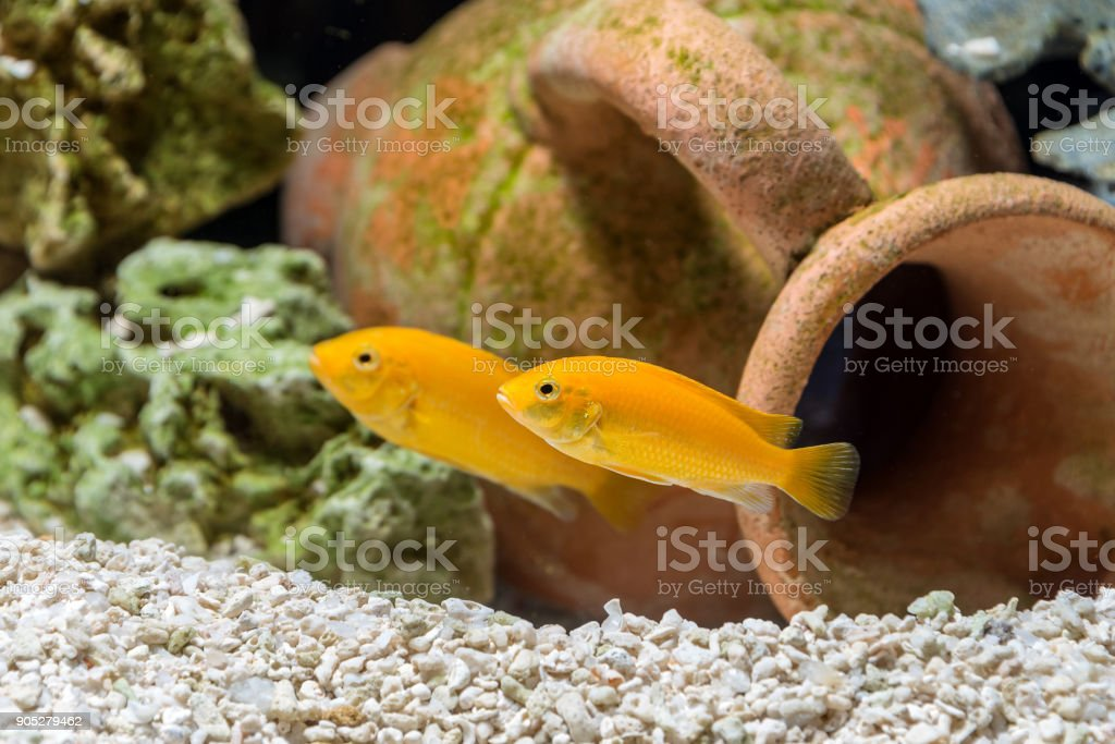 Fish Labidochromis caeruleus in the aquarium stock photo