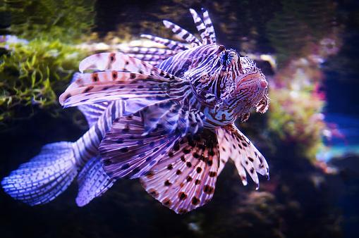 Fish Lionfish - Zebra, Pterois volitans underwater close up underwater while diving