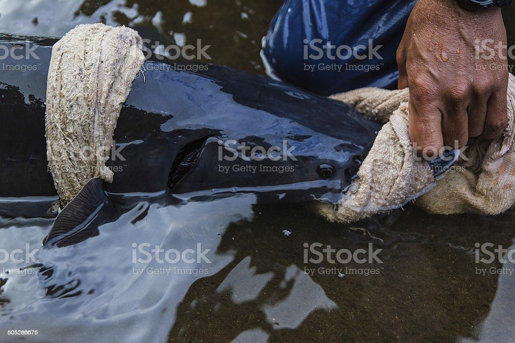Fish man catch big sturgeon in farm. stock photo