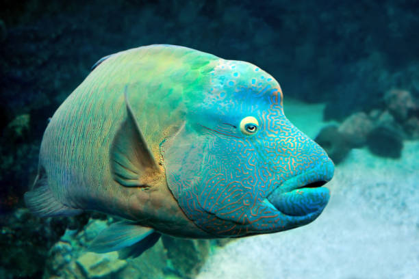 Fish Napoleon Wrasse (Cheilinus undulatus) on coral reef. stock photo