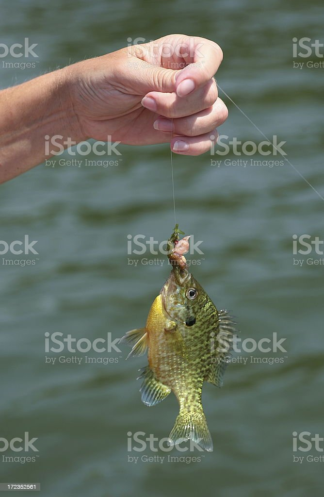 Fish On A Hook royalty-free stock photo