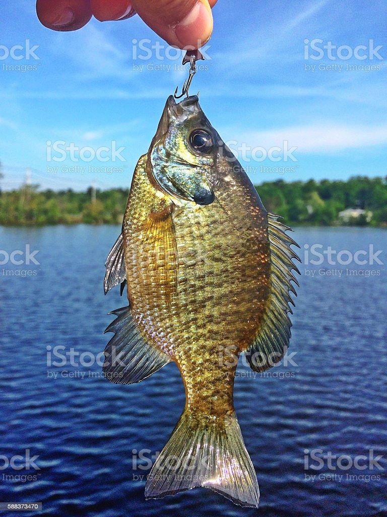fish on hook fishing stock photo