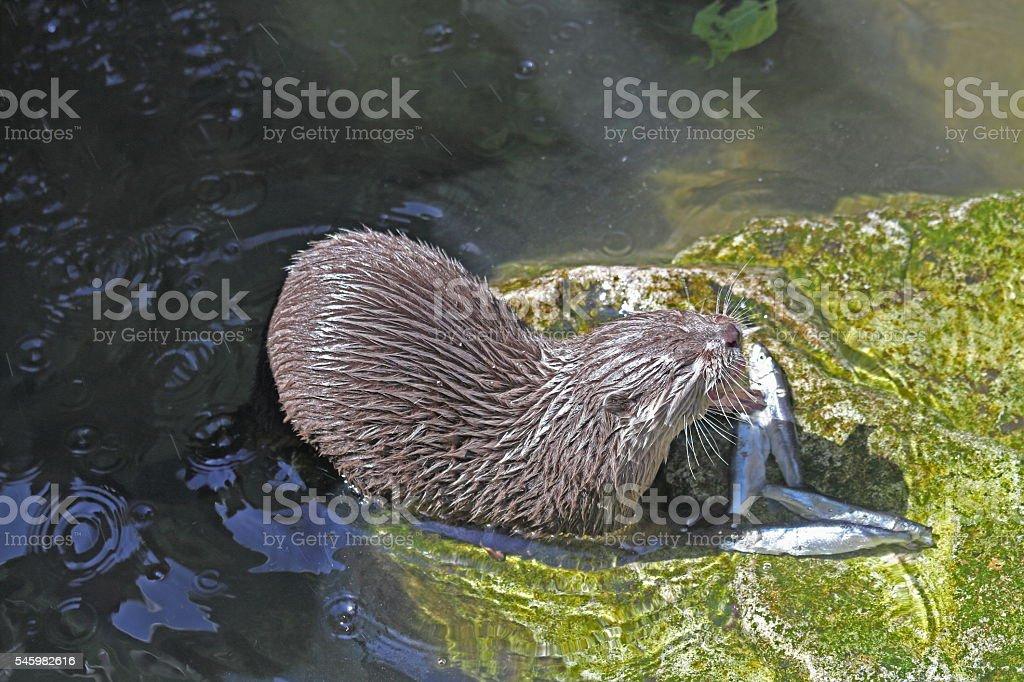 Fish-Otter – Foto