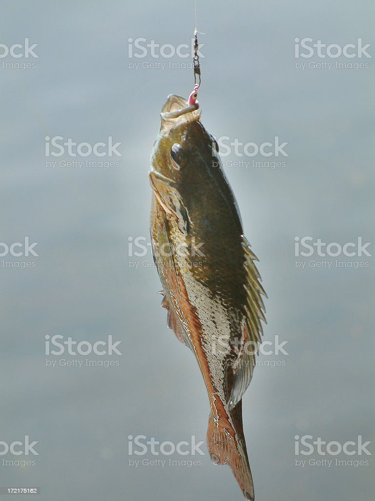 Fish Out of Water royalty-free stock photo