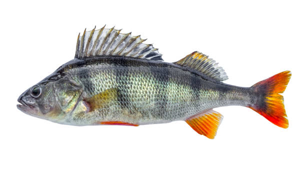 Fish perch with scales, fresh raw isolated Fish perch with scales, fresh raw isolated perch fish stock pictures, royalty-free photos & images