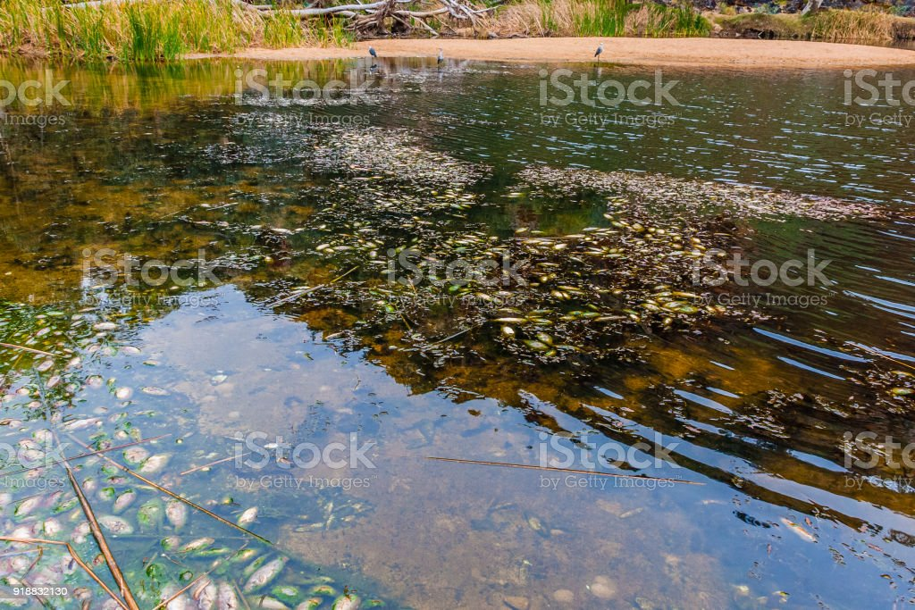 Fish pestilence in Ellery Creek Big Hole, The MacDonnell Ranges, Australia stock photo