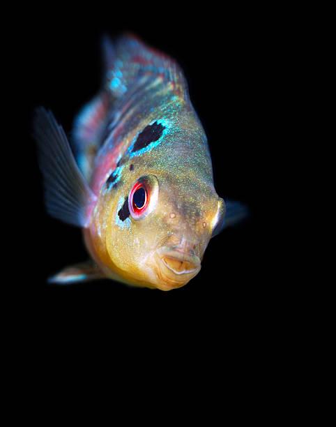 Lampenfisch Bilder Und Stockfotos Istock