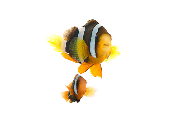 fish A clown fish  anemonefish stock pictures, royalty-free photos & images