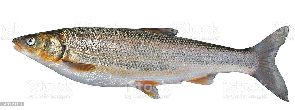 Fish (Leuciscus brandti) royalty-free stock photo