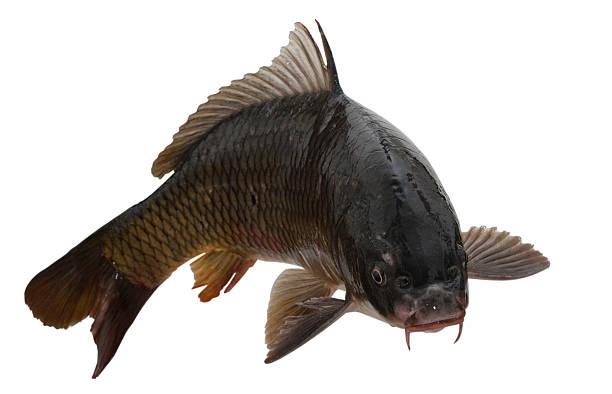 fish - pengpeng stock-fotos und bilder