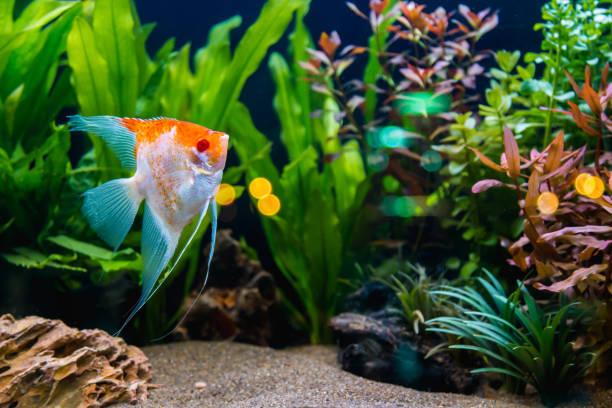 fish - home aquarium stock pictures, royalty-free photos & images