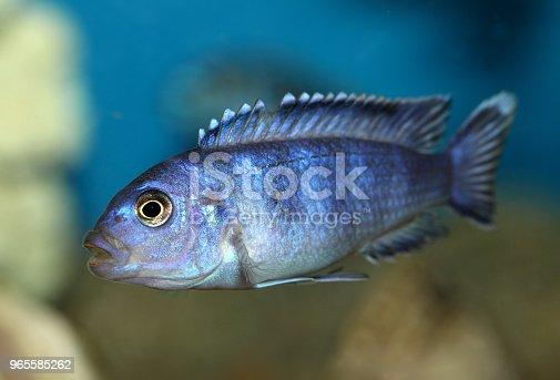 istock Fish 965585262